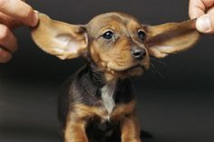 """Puppies Ear Mites - Pets Natural Ear Mite Treatment Remedy""""TO ELIMINATE EAR MITES use few drops of Wesson Corn Oil (the kind you use for cooking) in your dog's ear...Massage it in, then clean with a cotton ball. Repeat DAILY for 3 days. The oil soothes the dog's skin, smothers the mites, and accelerates healing."""