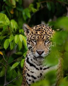 Cheetahs, African Big Cats, Leopard Tattoos, Exotic Cats, Black Jaguar, Forest Garden, Leopards, Perfect Photo, Cute Cats