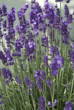 Lavandula angustifolia 'Hidcote' (Lavendel). De lavendel met de mooiste donkere bloemen.