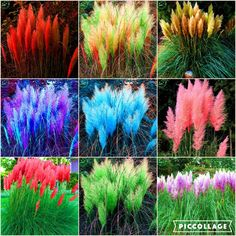 Rare Reed seeds Flowers grass pampas c. Seeds are very beautiful decorative garden plants pampas grass seeds 200 pcs t47    / //  Price: $US $0.46 & FREE Shipping // /    Buy Now >>>https://www.mrtodaydeal.com/products/rare-reed-seeds-flowers-grass-pampas-c-seeds-are-very-beautiful-decorative-garden-plants-pampas-grass-seeds-200-pcs-t47/    #Best_Buy