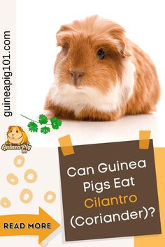 Cilantro is refreshing & nutritious herb with zesty taste broadly used all over the world. It is also known as coriander in some parts of the world. Every household use this amazing herb in some form. So, it is obvious that guinea pig owners often wonder if they should share it with their piggies. But can our guinea pigs eat Cilantro? #guineapig101 #guineapigcare #guineapigguides #guineapigs #smallpets #guineapigdiet Guinea Pig Food List, Pet Guinea Pigs, Guinea Pig Care, Cilantro Benefits, Guinea Pig Information, Pig Facts, Pigs Eating, List Of Vegetables, Love Pet
