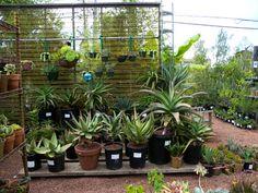 steingarten gestaltung-asiatisch ideen-blauschwingel pflanzen, Garten ideen
