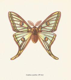VINTAGE MOTH ART Beautiful Colored Spanish Moon Moth Vintage Print Collectible Beautiful Country Home Decor 1966 Antique Print (Moth 54)