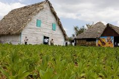 Tobacco farm & casa de tobacco in Viñales, Cuba - setting for Caribbean Freedom - third Island Legacy Novel - releasing April 6, 2013. For more info visit me at www.terimetts.com and ck under Novels. Anti Smoking, Giving Up Smoking, Cuba Vinales, Cuba Island, Cuban Cigars, Cuba Travel, Tropical Vibes, Go Outside, Great Places