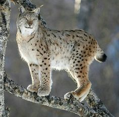 Follow @plannetearth for more amazing nature planet  and photos @plannetearth  Lynx climbing a tree in polarparked. Photography by Marius Birkeland #lifeinplanet by lifeinplanet