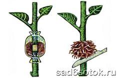Почти в каждом саду есть любимая яблоня, название сорта которой давно забыто, а яблоки такие вкусные, что хочется сохранить дерево на долгие года. Как же это сделать? Яблоня все стареет и стареет, а …