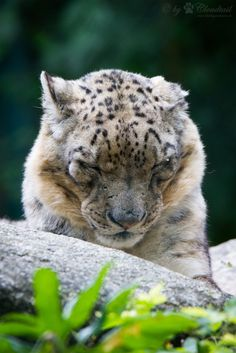 sleeping snow leopard by Cloudtail http://bigcats.co.vu/post/143447039500/sleeping-snow-leopard-by-cloudtail-via