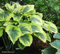 Google Image Result for http://www.inthecountrygardenandgifts.com/articles/hosta_of_the_year/liberty_lrg.jpg