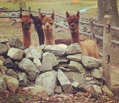 Maybe these alpacas? I don't even mind that it's a little creepy how they're staring because they are still cute tbh. | Idk, Just Some Cute Animals I Saw Online