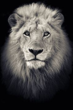 """""""The King"""" Portrait of a Lion ( Panthera Leo ) captured in Kruger National Park in South Africa."""