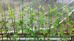 How to grow better beans and peas