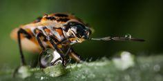 Eurydema - Shieldbug in the morning mist