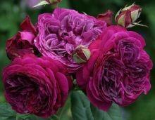 Rose Palais Brion (synonyme de Purple Lodge)