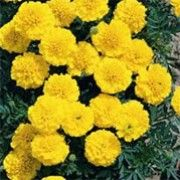 Tagetes patula 'Yellow Jacket' (French marigold 'Yellow Jacket') Click image to learn more, add to your lists and get care advice reminders  each month.