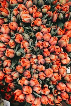 bundles of tulips