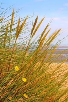Grass at the beach.