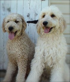 These are Goldendoodles but they look like my two Cockapoos...just 3 times larger! :) So cute!