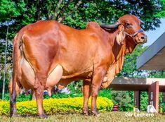 Cebu, Cabras Saanen, Cattle Barn, Gyr, Dairy Cattle, Farm Life, Farm Animals, Pet Birds, Calves