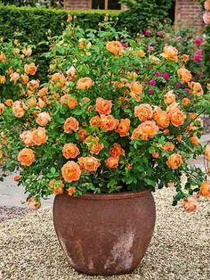 'Lady of Shalott' thrives in container gardens and has peach-orange blooms with a warm tea-rose fragrance; David Austin Roses. #ContainerGarden