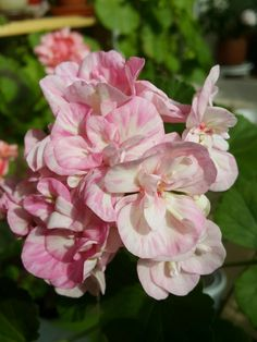 Geraniums,pelargonium