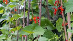 When I think of beans, I think of scarlet runners (Phaseolus coccineus). The heavy croppers brighten my garden with red flowers and produce abundant, dark green pods all summer. However, there are as many varieties and colours of beans as the summer days are long.
