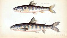 Animal - Fish - Salmon - Educational plate - monster salmon
