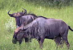 blue wildebeest | Blue Wildebeest photo - John Fletcher photos at pbase.com