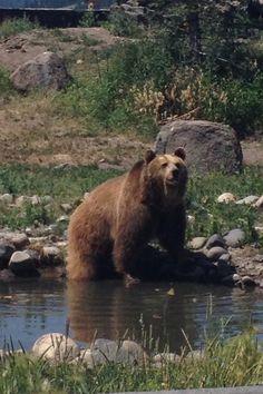 Montana Grizzly Bear!