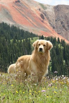 Golden Retriever - Why are they the perfect pets - . - Golden Retriever – Why Are They The Perfect Pets – - Golden Retrievers, Chien Golden Retriever, Cute Dogs And Puppies, I Love Dogs, Pet Dogs, Doggies, Puppies Tips, Lab Puppies, Chihuahua Dogs