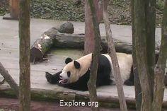 Sleepy Xi Mei yawns, via Explore.org panda cam.