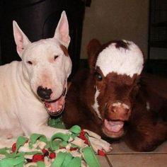 Mini vaca resgatada mora com 12 cachorros e acha que é um deles também by guia.pet