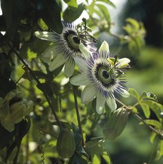 If you're looking for a climbing plant that's a little different then you should definitely check out the passion flower with it's striking and unusual flowers.