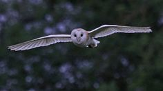 Barn Owl, Campbell Marsh RSPB Reserve, England by Judith Rogers My favorite bird!
