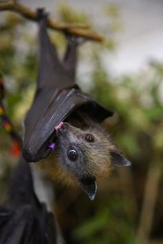 Picture result for bat cute - Mammals Cute Creatures, Beautiful Creatures, Animals Beautiful, Animals And Pets, Baby Animals, Cute Animals, Reptiles, Mammals, Baby Bats