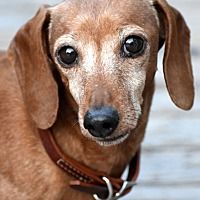 All American Dachshund Rescue Website Dachshund Dachshund