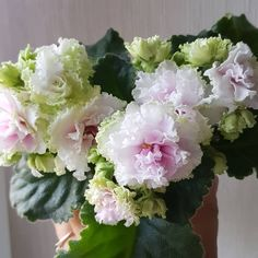 #RussianViolet#AVSA #AfricanVioletSocietyOfAmerica #AfricanViolet #IndoorPlant #Houseplant #saintpaulia #senpolia #AfricanVioletLovers #AfricanViolet #IndoorPlant #Houseplant #flowers #bloom #blooms #fialki #fialka #flowerpower #AfricanVioletLovers  #AfricanVioletBlooming #AfricanVioletMania #flowersagram #AfricanVioletsOfInstagram #flowerstagram #FlowersOfInststagram Leafy Plants, Flowering Plants, Air Plants, Planting Flowers, Easy House Plants, Saintpaulia, Bloom, African Violet, Carnivorous Plants