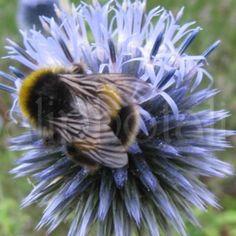 Globe Thistle Bee photographic print buy handmade UK   sell handmade UK   UK marketplace   Shopsie http://www.shopsie.co.uk/product/photographic-art-prints-postcards-photos/globe-thistle-bee-photographic-print/