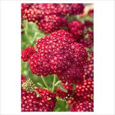 Achillea millefolium 'Red Velvet'