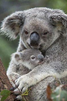 Koala Mother Holding Joey Australia by Suzi Eszterhas. Koalas are the cutest Nature Animals, Animals And Pets, Wild Animals, Cute Baby Animals, Funny Animals, Australian Animals, Tier Fotos, Cute Animal Pictures, Animal Photography