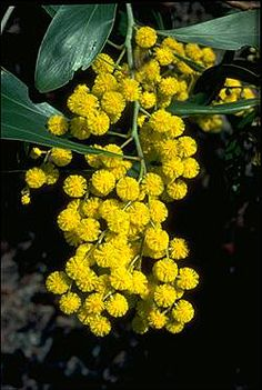 Golden Wattle (Acacia pycnantha) is Australia's national flower and commonly known as Acacias. The Golden Wattle flowers have five very small petals. Learn more about Australia National Flower