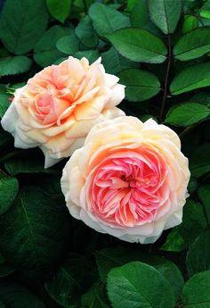 Rosa A. Shropshire Lad