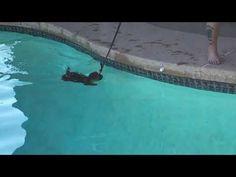 "Mesa dog training ""k9katelynn"" teaches Fitz (10 week old Rottweiler/German Shepard mix) how to swim - YouTube"