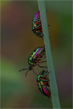 * Metallic * beetles (Forum für Naturfotografen)