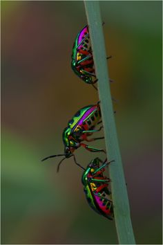 Lychee Shield Bug ~