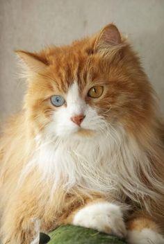 "Beautiful Kitty w Heterochromia iridis ~ the Greek term for ""differently colored irises"" ((Beautiful! ♡♡♡ thanks Freebird))"