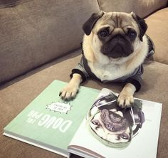 When you really want to read your mates @itsdougthepug new book. But realise you're a pug and can't actually read #puglife