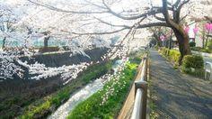 2015Tokyo inagi wonderful sakura