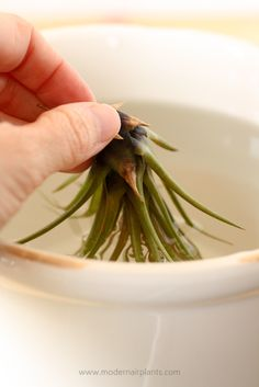 Learning how to properly dry air plants is simple, and takes extra time, but the results are worth it: healthy air plants. If air plants are not dried properly, water will accumulate in the cup of the plant and slowly, rot will kill the air plant. Types Of Air Plants, Air Plants Care, Plant Care, Hanging Air Plants, Outdoor Plants, Outdoor Gardens, Indoor Garden, Air Plant Terrarium, Green Tips