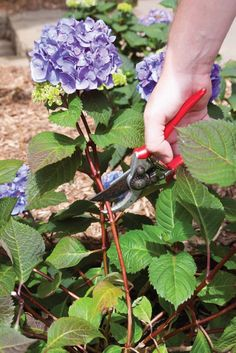 how to care for the hydrangeas in teh front yard // Planting Hydrangeas, Pruning Hydrangeas, Hydrangea Care