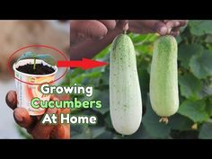 How to grow Cucumber Plants from seeds at home || Growing Cucumbers in a Container - YouTube Cucumber Plant, Cucumber Seeds, Grow Cucumber, Garden Soil, Garden Seeds, Planting Seeds, Hydroponic Gardening, Hydroponics, Grow Organic